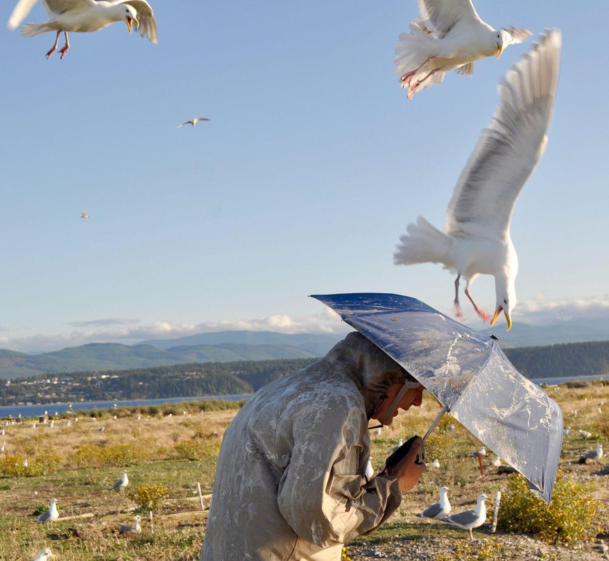 In this photo taken on July 13, 2016, biologist Jim Hayward shields himself with an umbrella while visiting a large gull nesting colony on Protection Island, a wildlife refuge in the Strait of Juan de Fuca, near Port Townsend, Wash. Hayward's research has found that climate change is triggering cannibalism among nesting gulls. (Tristan Baurick/Kitsap Sun via AP)