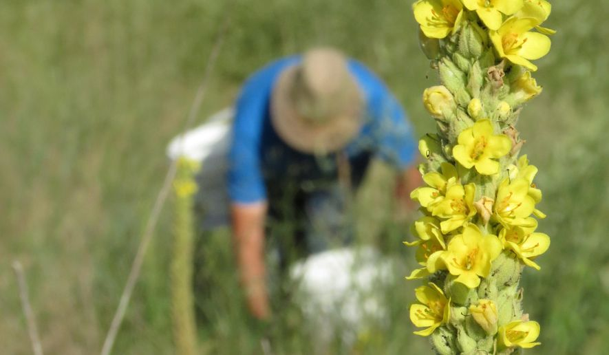 ADVANCE FOR RELEASE SUNDAY, JULY 31, 2016, AND THEREAFTER - In this July 28, 2016, photo, volunteer Darwin Hinrichs of Gibbon, in background, harvests seeds from other plants at the Audubon's Rowe Sanctuary southwest of Gibbon, Neb. Gathering seeds from Nebraska's native and restored prairies remains a hands-on, one-plant-at-a-time job that is repeated several times over late summer and fall. (Lori Potter/The Daily Hub via AP) MANDATORY CREDIT