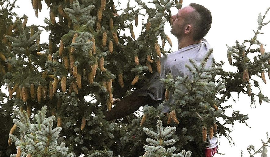 In this photo taken July 31, 2016, Lane Malouff runs out of tree after climbing a pine in Colorado Springs, Colo. Malouff was trying to evade being arrested by the police. Malouff stayed in the tree for hours before being coaxed down. (Jerilee Bennett/The Gazette via AP)