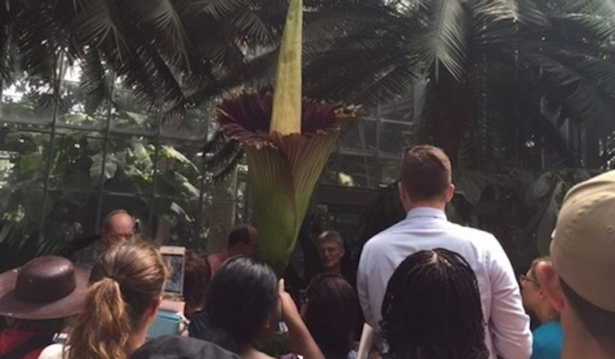 Hundreds of visitors flock to the U.S. Botanical Garden on Tuesday to see and smell the corpse flower, a 7-foot-tall relative of the calla lily known for its stench in peak bloom.