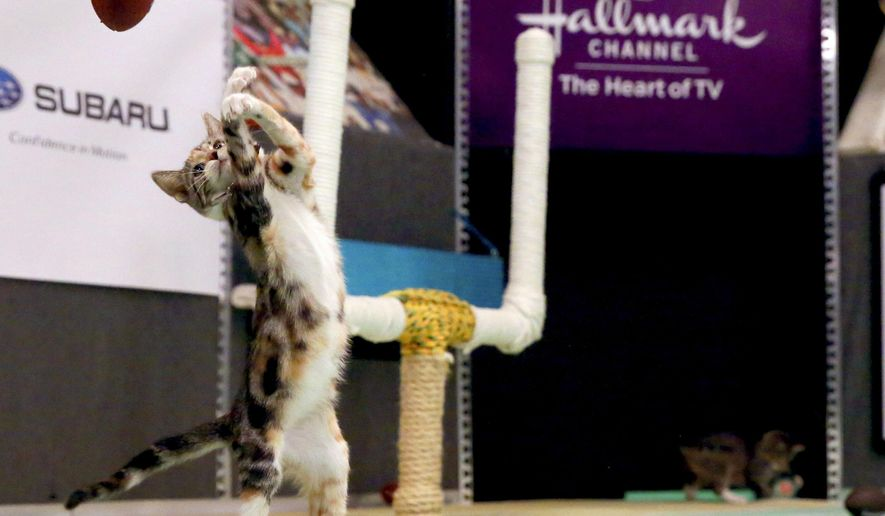 FILE - In this Oct. 21, 2015 file photo, a kitten plays with a toy football during a taping of Kitten Bowl III in New York. To coincide with the start of the Summer Olympic games on Friday, Aug. 5, about 90 kittens over at the Hallmark Channel will be holding their own in the Kitten Summer Games. (AP Photo/Mary Altaffer, File)