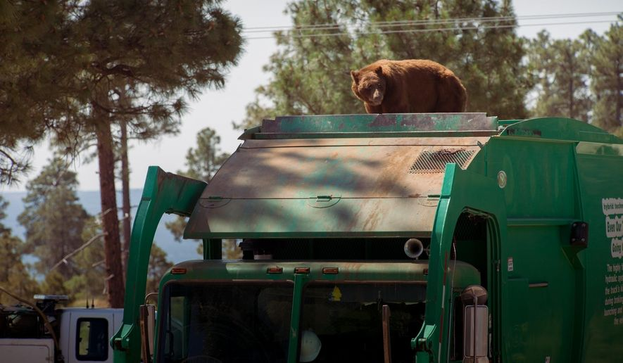 In this July 18, 2016 photo provided by Evan Welsch, a bear hitches a ride on top of a garbage truck in Los Alamos National Labs in Los Alamos, N. M. Helicopter mechanic Welsch, who snapped photos of the bear, said about 30 Forest Service and National Park workers had gathered around to see the spectacle when it was suggested that the driver back up near a tree to give the animal an escape route. The bear clamored for the tree and stayed up there about an hour or two before scurrying down and running off. (Evan Welsch via AP)