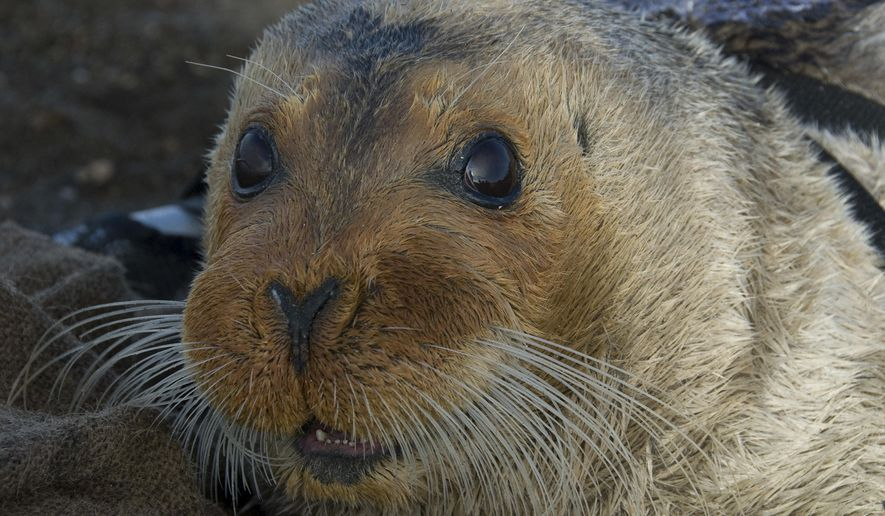 This Sept. 5, 2006, photo provided by the National Oceanic and Atmospheric Administration shows a bearded seal in Kotzebue, Alaska. An attorney for the National Marine Fisheries Service on Thursday, Aug. 4, 2016, in Anchorage, Alaska, urged the 9th U.S. Circuit Court of Appeals to overturn a lower court ruling that said bearded seals do not merit a listing as a threatened species. (Michael Cameron/NOAA Fisheries Service via AP)