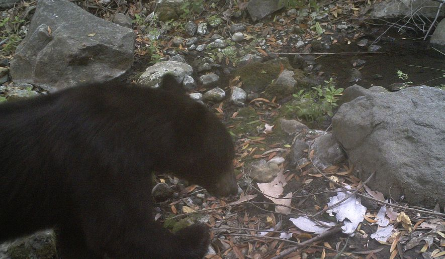 This July 26, 2016 photo taken by a camera trap provided by National Park Service shows a black bear in Malibu Creek State Park in the Santa Monica Mountains National Recreation Area. The National Park Service says camera traps recorded a rare sighting of a black bear in Malibu Creek State Park. The park service said Thursday, Aug. 4, researchers spotted the bear in July 26 images taken by cameras that monitor wildlife in the Santa Monica Mountains, which are hemmed in by freeways and urban sprawl. (National Park Service via AP)