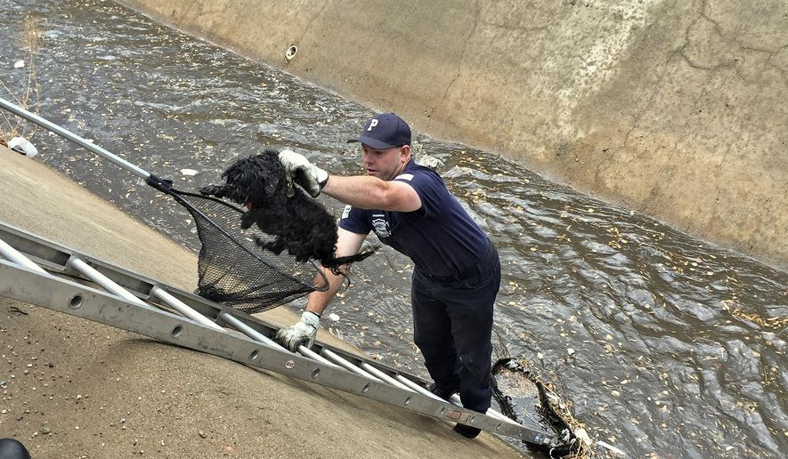 Peoria Fire-Medical E192 firefighter Todd Childress pulls a stranded dog out of a canal Friday, Aug. 5, 2016, with the help of a ladder in Peoria, Ariz. The dog, which had previously been very difficult to round up, ran right to the firefighter who was able to get him into the waiting net of Animal Control officer. (Capt. Justin Gorospe/Peoria Fire-Medical Department via AP)