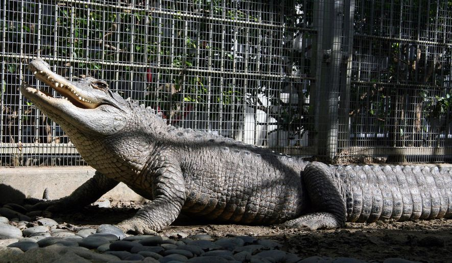 This undated photo provided by the Pasadena Humane Society shows Tina, a female alligator who has lived at the Humane Society's shelter for the past 18 years in Pasadena, Calif. (Pasadena Humane Society/SPCA via AP) **FILE**