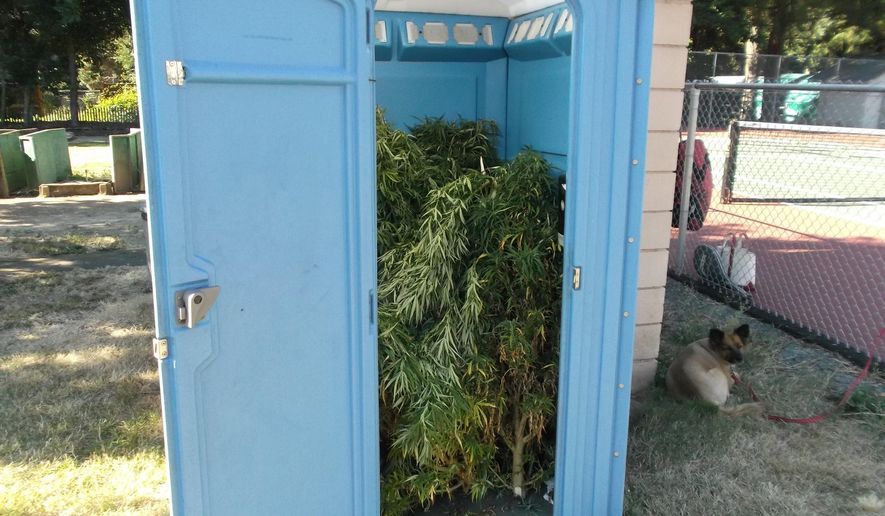This photo provided by Rogue River Police Dept., shows marijuana plants inside a portable toilet.  Police in the southern Oregon community of Rogue River say a man walking through a park discovered a portable toilet filled with marijuana plants.The agency posted a photo on social media Wednesday, Aug. 10, 2016, saying it's the largest seizure of pot the department has ever made. Marijuana grows are common in southern Oregon, which has some of the nation's best conditions for outdoor cultivation. (Ken Lewis/Rogue River Police Dept. via AP)