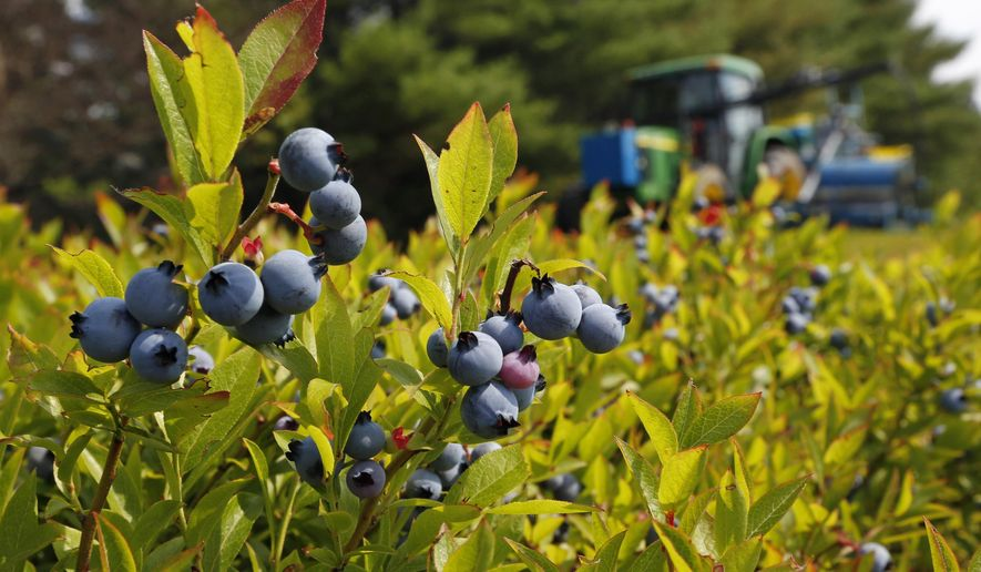 FILE - In this July 30, 2015 file photo, a blueberry harvester makes its way through a field near Appleton, Maine. Maine's 2016 blueberry crop is looking at a slightly more modest year due to a dry spring. (AP Photo/Robert F. Bukaty, files)