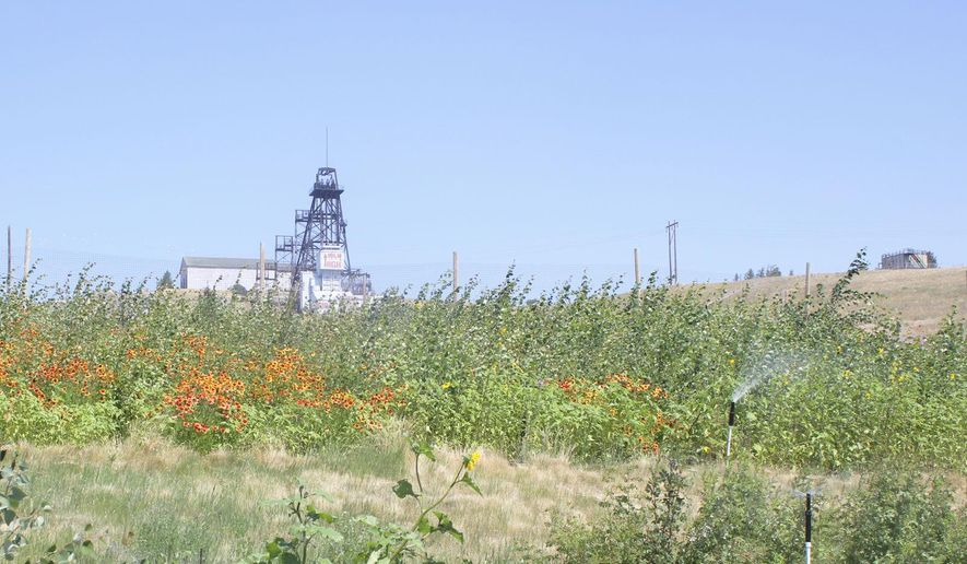 The Mountain Con headframe is seen north of the Clear Grit Dump where Norm DeNeal is restoring most of the garden, which will become a public space once the trees and flowers have matured. (Susan Dunlap/Montana Standard via AP)