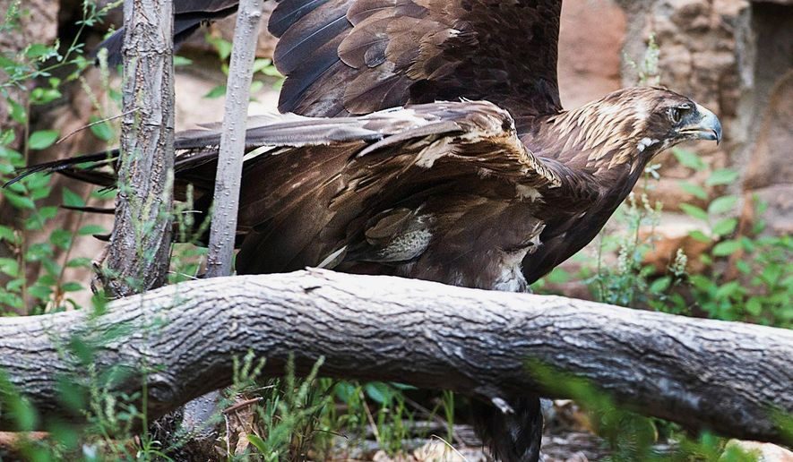 In this Aug. 4, 2016, photo, Although he can't fly, Keesha, which is unable to fly, moves nimbly around his enclosure in the former bear pit area of the Pueblo Zoo in Pueblo, Colo. Keesha is the zoo's longest-term resident. (Chris McLean/The Pueblo Chieftain via AP)