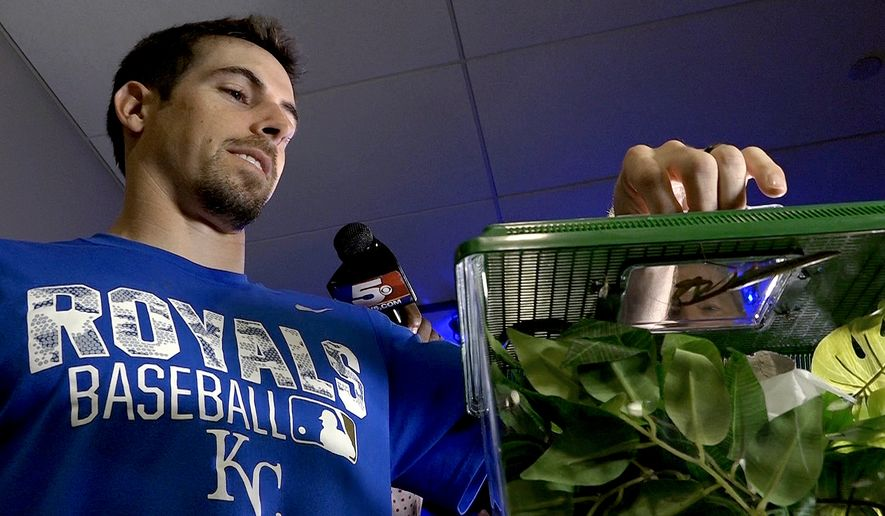 Kansas City Royals' Billy Burns displays Rally Mantis Jr. before a baseball game against the Minnesota Twins, Thursday, Aug. 18, 2016, in Kansas City, Mo. (John Sleezer/The Kansas City Star via AP)