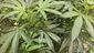 Oregon-Marijuana Fair.JPEG-c9441.jpg
