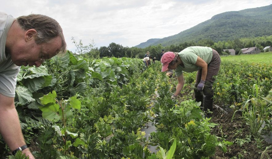 In this Thursday, Aug. 18, 2016, photo, a team of volunteers called a crop mob, weed root vegetables at Maple Wind Farm, in Bolton, Vt. Volunteers gather periodically at Vermont farms to help with weeding and harvesting of vegetables as a way to help out farms and learn more about agriculture. The crop mob concept has taken off in other parts of the country. (AP Photo/Lisa Rathke)