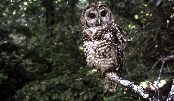FILE - In this June 1995, file photo a Northern Spotted owl sits on a branch in Point Reyes, Calif. Wildlife officials say the northern spotted owl has been listed under the California Endangered Species Act. The state's Fish and Game Commission voted unanimously on Friday, Aug. 26, 2016, to add the threatened bird to the list, ending a four-year process by the Environmental Protection Information Center, or EPIC. (AP Photo/Tom Gallagher, File)