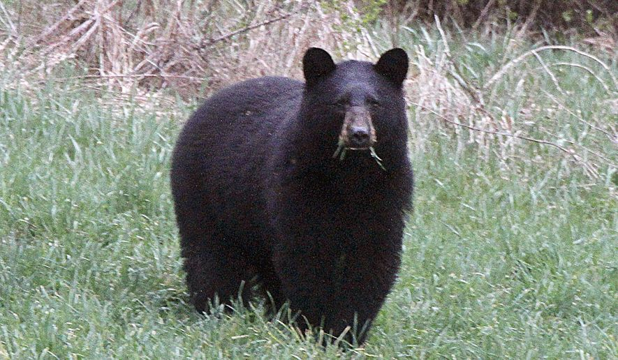 In this April 22, 2012, file photo, a black bear grazes in a field in Calais, Vt. (AP Photo/Toby Talbot, File)
