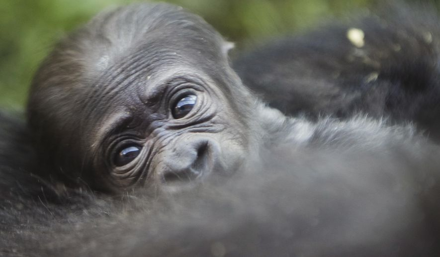 A newborn baby western lowland gorilla looks up as it is held by its mother Honi during its debut at the Philadelphia Zoo in Philadelphia, Wednesday, Aug. 31, 2016. The unnamed baby gorilla was born Friday, Aug. 26. (AP Photo/Matt Rourke)