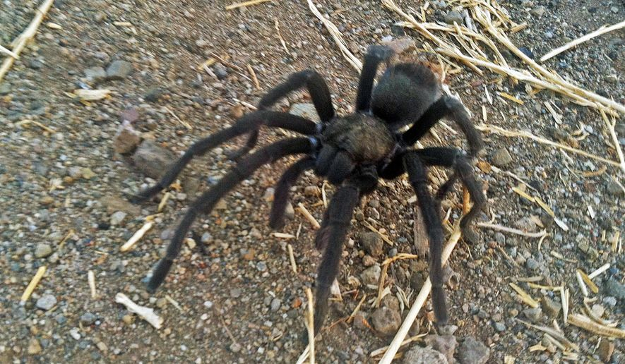 This Aug. 12, 2013 photo provided by the National Park Service shows a tarantula at the Rancho Sierra Vista park site, within the Santa Monica Mountains National Recreation Area near Newbury Park, Calif. Tarantulas are out looking for love, and hikers in Southern California's Santa Monica Mountains are warned to watch out for the hairy spiders. Tarantula mating season has begun, and it will last through the end of October, the National Park Service said Thursday, Sept. 1, 2016. (National Park Service via AP)