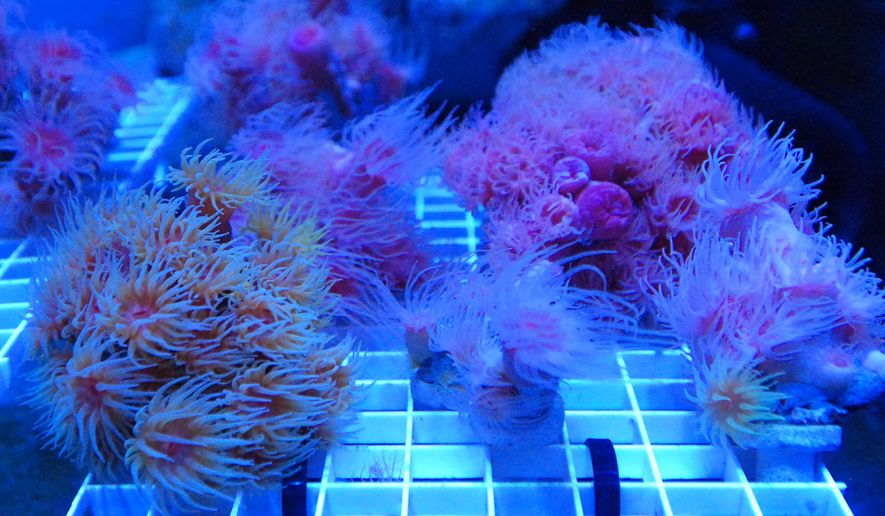 FILE- In this Feb. 11, 2016 file photo, rare species of Hawaiian coral being used to create a seed bank grows in a tank at a coral nursery in Honolulu. At the largest international gathering of coral reef experts in May, scientists called for action to save the world's reefs. The international community is coming together to address global warming, wildlife trafficking and environmental conservation at the World Conservation Congress in Hawaii. The start of the International Coalition for the Conservation of Nature World Conservation Congress, which is being held in the U.S. for the first time, began Thursday, Sept. 1, 2016 with a Native Hawaiian ceremony. (AP Photo/Caleb Jones, File)