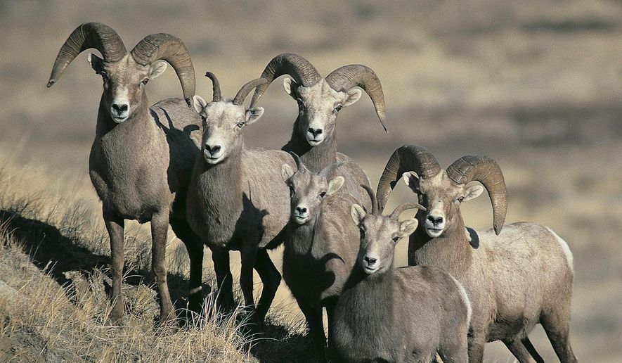 FILE - This undated file photo provided by the North Dakota Game and Fish Department shows a group of bighorn sheep in North Dakota. North Dakota's Game and Fish Department is resuming bighorn sheep hunting this fall after concluding that a disease that sparked a large die-off in the western badlands herd two years ago has diminished. (Craig Bihrle/North Dakota Game and Fish Department via AP, File)