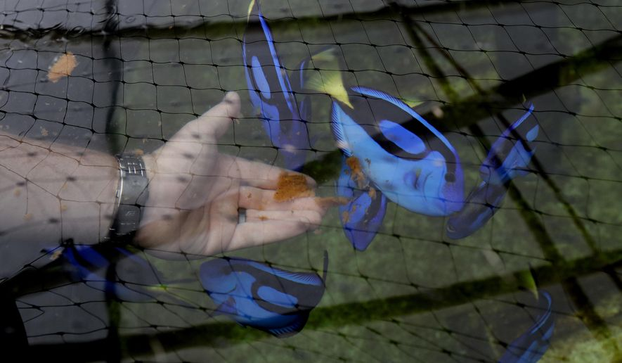 Kevin Barden feeds Pacific Blue Tang in the University of Florida Tropical Aquaculture Lab in Ruskin, Fla. (AP Photo/Chris O'Meara)