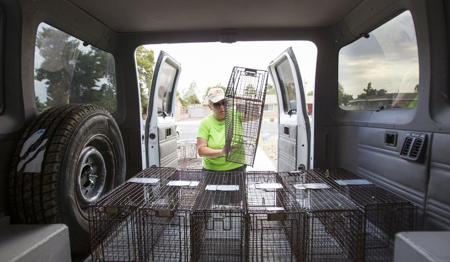 In this Monday, Aug. 22, 2016 photo, Debbie Williams, director of operations of the Community Cat Coalition of Clark County, or C5, loads traps into a cargo van in North Las Vegas. C5 helps support feral cat colonies around the valley but also captures and sterilizes the animals to keep them from reproducing. (Richard Brian/Las Vegas Review-Journal via AP)