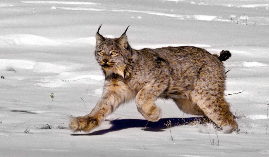 FILE - This Feb. 3, 1999 file photo shows a female Canadian lynx heading for the woods after being released near South Fork, Colo. A federal judge says the U.S. government was wrong to exclude portions of five western states when it designated critical habitat for the imperiled Canada lynx. U.S. District Judge Dana Christensen in Montana issued an order Wednesday, Sept. 7, 2016, requiring the U.S. Fish and Wildlife Service to consider adding habitat for the wild cats in Colorado, New Mexico, Wyoming, Montana and Idaho. (AP Photo/Jack Smith, File)