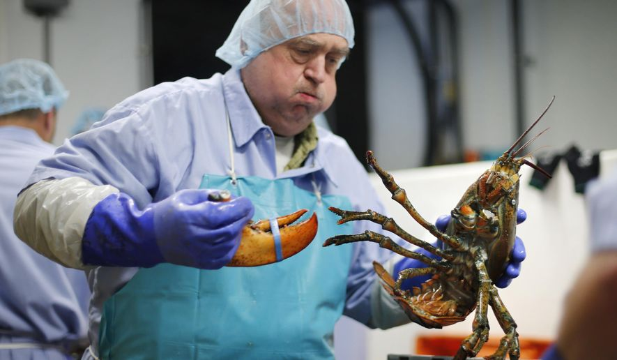 FILE - In this June 20, 2014, file photo, Frank Carlson breaks a claw off a lobster at the Sea Hag Seafood processing plant in St. George, Maine. Retail prices for lobsters have remained high into September 2016 with consumers typically paying a few dollars more than the previous year. A market analyst said the growing demand for processed lobster products could keep the price high in the future. (AP Photo/Robert F. Bukaty, File)