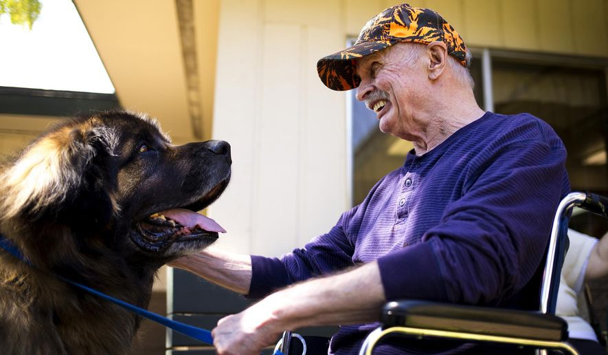 ADVANCE FOR WEEKEND EDITIONS SEPT 10-11 - In this Aug. 26, 2016 photo, Leonard Hanson laughs as he visits with Calibur, the 9-year-old Leonberger therapy dog, at Coeur d'Alene Health Care and Rehabilitation Center in Coeur d'Alene, Idaho. Therapy dogs, whose mere presence can mean the world to those who are suffering and in need of the pure love of a canine companion. (Jake Parrish/Coeur D'Alene Press via AP)