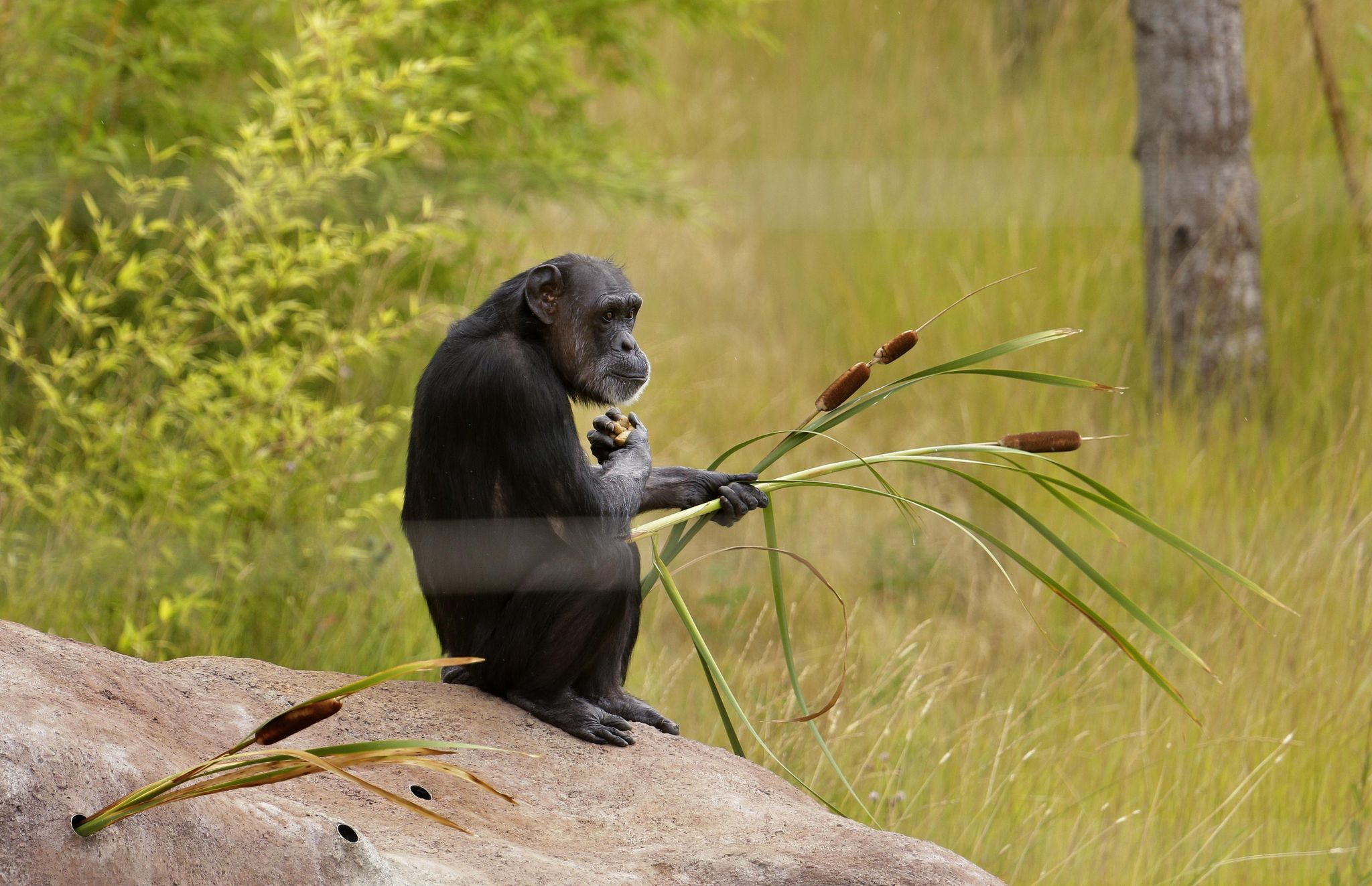 Chimpanzees use branches to make ladder, escape from zoo