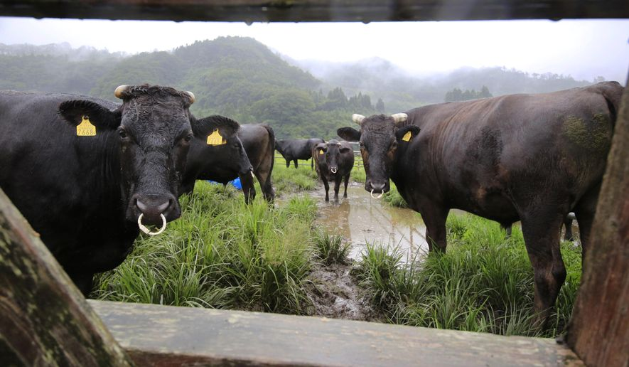 In this Aug. 27, 2016, photo, cows stand during their medical check-up at Komaru Ranch in Namie town, 12 kilometers (7.5 miles) north of the crippled Fukushima Dai-ichi nuclear power plant. Ranchers who refused a government order to kill their cows continue to feed and tend about 200 of them as part of a study by researchers who formed the nonprofit Society for Animal Refugee & Environment post Nuclear Disaster. They visit every three months to test the livestock living within a 20-kilometer (12-mile) radius of the Fukushima plant, where three reactors had core meltdowns after it was swamped by a tsunami in 2011. (AP Photo/Shizuo Kambayashi)