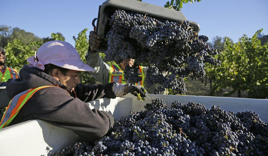 Cabernet Sauvignon grapes are dropped into a bin during harvest at the Quintessa winery Wednesday, Sept. 28, 2016, in Rutherford, Calif. Harvest began at the Napa Valley winery on September 8 and will continue through October. A fantastic vintage for 2016 is expected. (AP Photo/Eric Risberg)