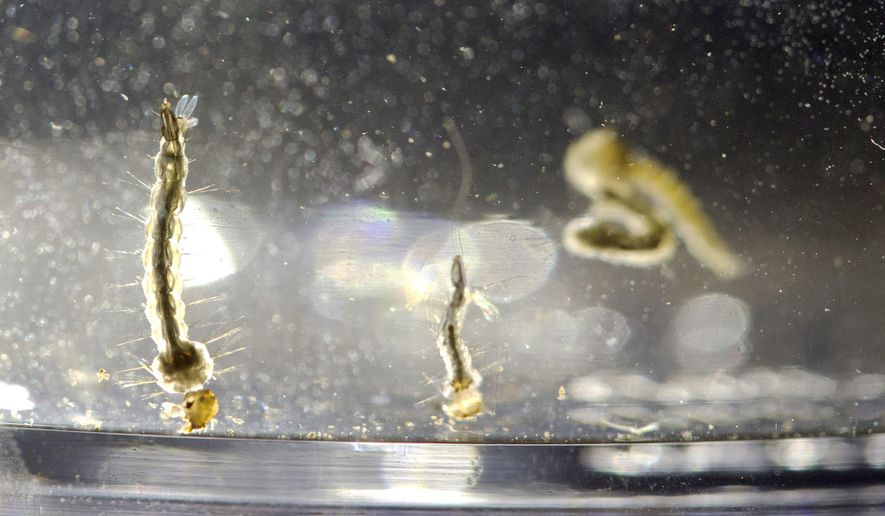 In this Wednesday, Aug. 24, 2016, file photo, Aedes Aegypti mosquito larvae swim in a container at the Florida Mosquito Control District Office in Marathon, Fla. (AP Photo/Wilfredo Lee) ** FILE **