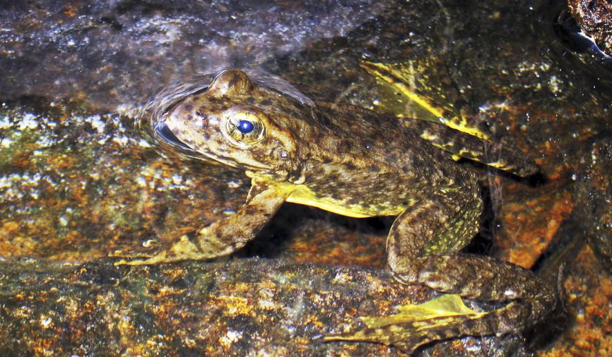 FILE - This Aug. 10, 2013 file photo shows a rare mountain yellow-legged frog in an alpine lake in Kings Canyon National Park, in California's Sierra Nevada.   Scientists say that the Sierra Nevada yellow-legged frog, once on the brink of extinction, is making an encouraging comeback in Yosemite National Park. (AP Photo/Brian Melley, File)