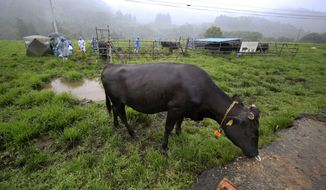 In this Aug. 27, 2016, photo, a cow eats grasses after getting a medical check-up by the Society for Animal Refugee & Environment post Nuclear Disaster at Komaru Ranch in Namie town, 12 kilometers (7.5 miles) north of the crippled Fukushima Dai-ichi nuclear power plant. Ranchers who refused a government order to kill their cows continue to feed and tend about 200 of them as part of a study by the researchers. They visit every three months to test the livestock living within a 20-kilometer (12-mile) radius of the Fukushima plant, where three reactors had core meltdowns after it was swamped by a tsunami in 2011. (AP Photo/Shizuo Kambayashi)