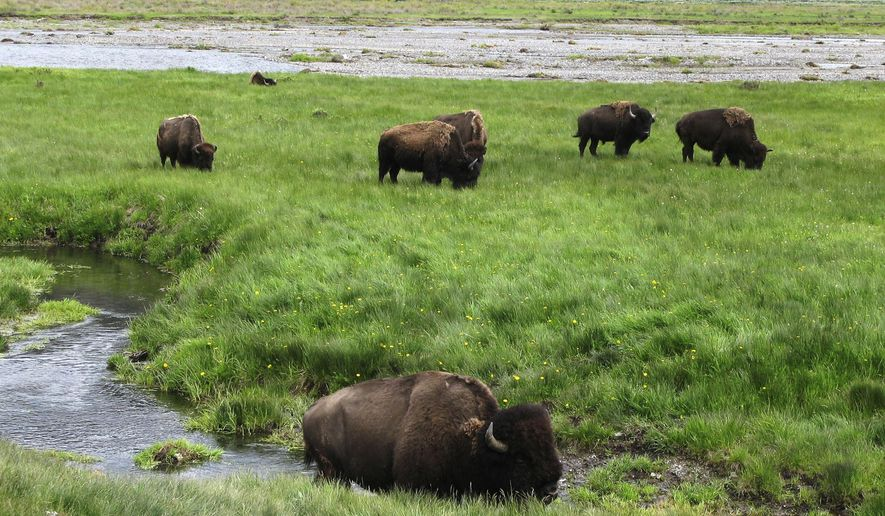 FILE - In this June 19, 2014, file photo, bison graze near a stream in Yellowstone National Park in Wyoming. Researchers have transplanted embryos with roots in the bison herd at Yellowstone National Park into female bison at the Minnesota Zoo in hopes of increasing the genetic diversity of bison herds in the state and refining a tool that could be used across the country someday as part of efforts to restore the animals to the American landscape. (AP Photo/Robert Graves, File)