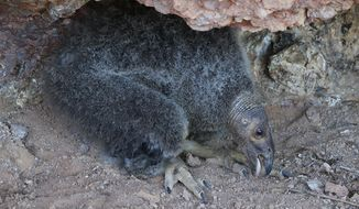 This June 14, 2016, photo provided by the National Park Service shows condor chick 828 in her nest at 60 days of age in Pinnacles National Park near Paicines, Calif. The California condor chick has hatched in the wild, survived and flown out of its nest at Pinnacles National Park for the first time since the 1890s, officials said Wednesday, Oct 12, 2016. (Gavin Emmons/National Park Service via AP)