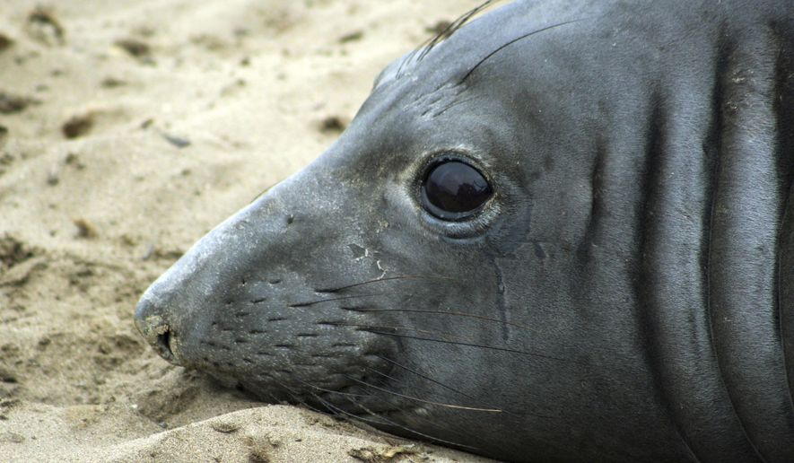 This May 5, 2016 photo provided by the University of California, Santa Cruz, shows an elephant seal named Phyllis at Ano Nuevo Natural Preserve within Ano Nuevo State Park near Pescadero, Calif. UC Santa Cruz researchers say Phyllis has set a record by swimming farther west than any other tracked elephant seal. Officials said Wednesday, Oct. 12, 2016, that by the time Phyllis arrives back in California in January 2017, she will have completed a 7,400-mile foraging adventure. (NMFS permit No. 19108). (Rachel Holser/University of California, Santa Cruz via AP)