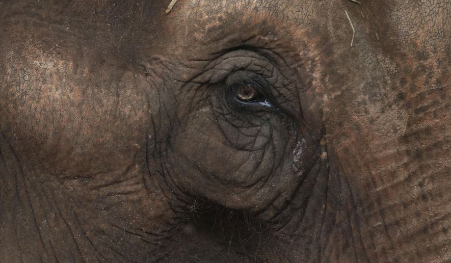 Maia, an Asian elephant who spent most of her life as a circus performer, looks out from her new home at the first elephant sanctuary in Latin America in Chapada dos Guimaraes, Brazil, Wednesday, Oct. 12, 2016.  Maia is one of two elephants who will get veterinary care as they live out their lives in forested areas, pasture lands with hills, large boulders, streams and springs in western Brazil. (AP Photo/Eraldo Peres)