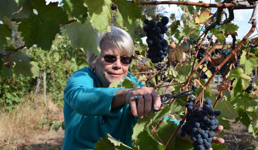 Pam Freed, co-owner of Freed Estate Winery with husband Mike Freed clips a bunch of Tempranillo grapes at the Winston, Ore. winery on Thursday Sept. 29, 2016. The Freeds planted their first grapes in 2000, and all Freed Estate wines are made from grapes grown on their own vineyard.  (Emily Hoard/The News-Review via AP)