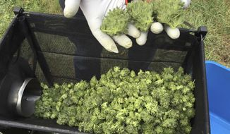 A marijuana harvester examines a bud that is going through a trimming machine in a rural area near Corvallis, Ore., Sept. 30, 2016. (AP Photo/Andrew Selsky)