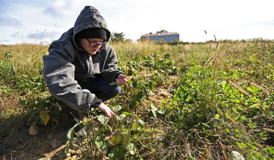 In this photo taken Friday, Oct. 7, 2016, Andie Donnan, of Dubuque, Iowa, picks beans at Honey Hill Organic Farm in rural Potosi, Wis. (AP/Telegraph Herald/Jessica Reilly)