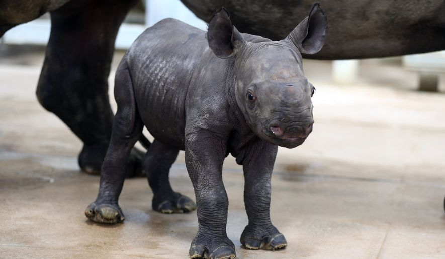 """An unnamed, newborn eastern black rhino walks around with it's mother, Ayana, Monday Oct. 17, 2016, at the Blank Park Zoo in Des Moines, Iowa. The endangered eastern black rhino mother gave birth to the female, 80-pound calf on Oct. 11, and is likely the first endangered rhino born in the state of Iowa, according zoo officials. """"This is an extremely significant event — not only in Blank Park Zoo's 50 year history, but also for this critically endangered animal species,"""" zoo CEO Mark Vukovich said. (Rodney White/The Des Moines Register via AP)"""