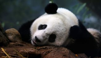 Bao Bao will leave the Smithsonian's National Zoo, where she has been charming visitors since her birth on Aug. 23, 2013. As one of fewer than 2,000 giant pandas in the world, she will enter a breeding program in China. (Associated Press)