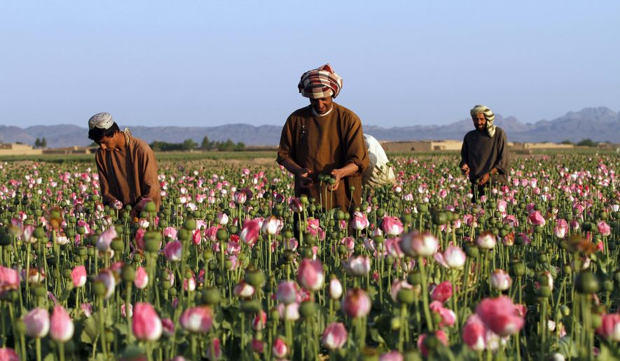 FILE - In this April 11, 2016 file photo, farmers harvest raw opium at a poppy field in the Zhari district of Kandahar province, Afghanistan. Afghanistan saw an increase of 10 percent in opium poppy cultivation and 91 percent decrease in eradication across the country, according to a new joint survey released by the UN and Afghan government. The report released Sunday, Oct. 23, 2016, showed the total area under cultivation in Afghanistan at an estimated 201,000 hectares (496,681 acres) in 2016, a 10 percent increase from the 183,000 hectares (452,200 acres) in 2015. (AP Photos/Allauddin Khan, File)