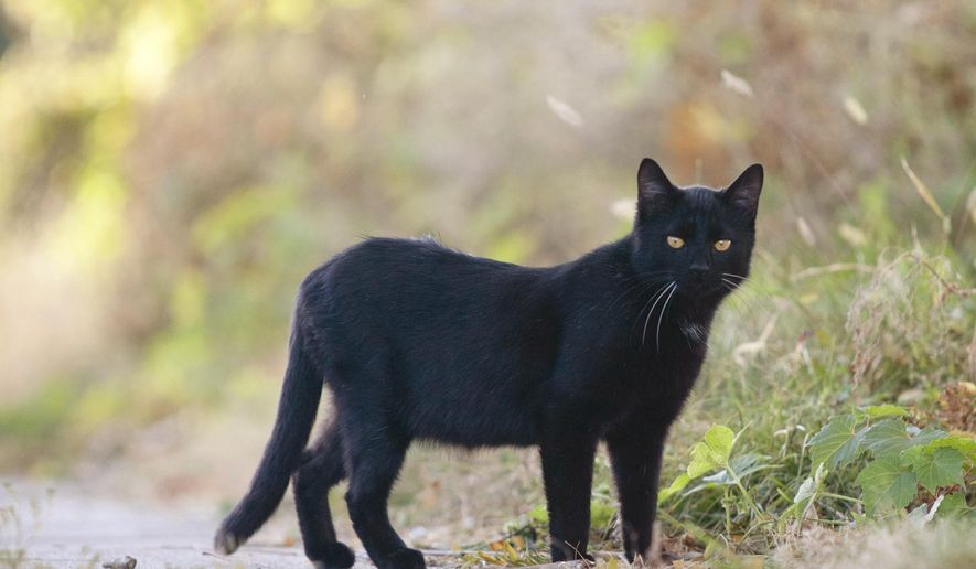 A stray cat roams the sidewalk on Oct. 18, 2016 in Burlinton, Iowa. Recently, two women have taken steps to organize a group to tackle head-on a rampant feral cat population in Burlington and Des Moines County.  (Ben Roberts /The Hawk Eye via AP)