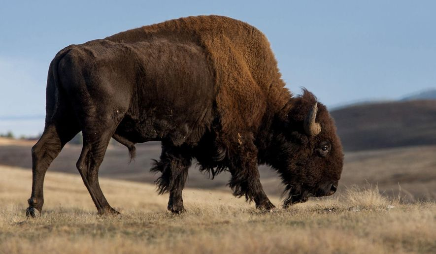 In this Tuesday, Nov. 1, 2016 photo, an American bison roams near U.S. Route 385 in Wind Cave National Park in South Dakota . Congress recently designated the bison as the National Mammal of the United States, and Tuesday marked the dedication ceremony of the bill at Wind Cave National park, which coincides with November as Native American Month and National Bison Day, which is the first Saturday in November. (Hannah Hunsinger/Rapid City Journal via AP)