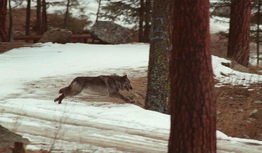 FILE - In this Jan. 14, 1995, file photo, a wolf leaps across a road into the wilds of Central Idaho. Three of four wolves fitted with tracking collars in a central Idaho wilderness area last winter by Idaho officials, despite not having federal authorization to do, so are still alive heading into this winter. (AP Photo/Douglas Pizac, File)