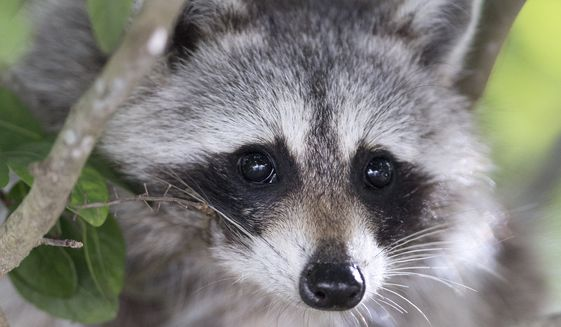 In this file photo, a raccoon peers down from a tree at Bill Baggs Cape Florida State Park, Wednesday, Jan. 14, 2015, in Key Biscayne, Fla. (AP Photo/Wilfredo Lee) ** FILE **