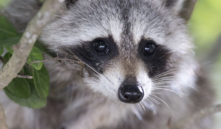 In this file photo, a raccoon peers down from a tree at Bill Baggs Cape Florida State Park, Wednesday, Jan. 14, 2015 in Key Biscayne, Fla. (AP Photo/Wilfredo Lee) **FILE**