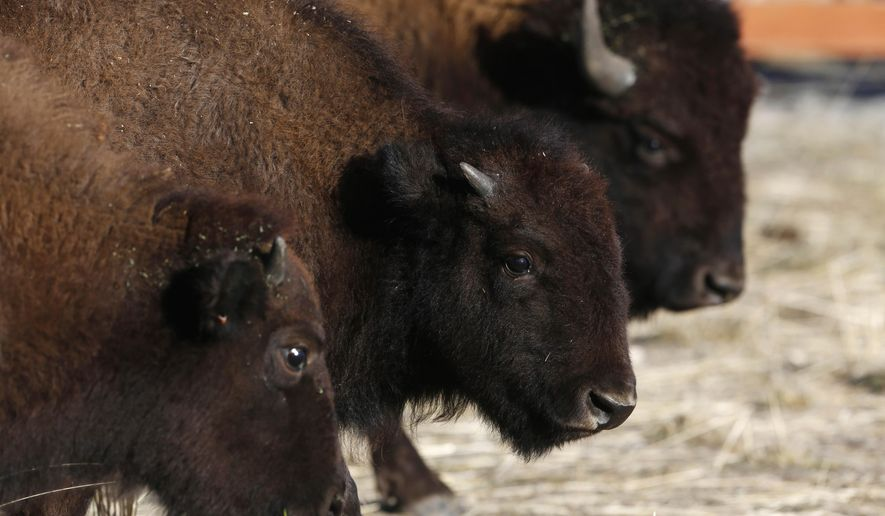 Bison await their release Thursday, Nov. 3, 2016 on the Wind River Indian Reservation near Morton, Wyo. Ten genetically pure bison from the Neal Smith National Wildlife Refuge in Iowa were released on Eastern Shoshone land. (Alan Rogers/The Casper Star-Tribune via AP)